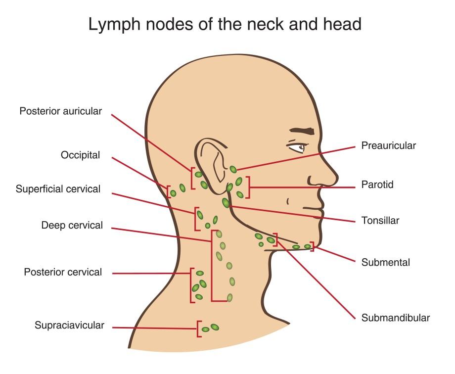 Схема расположения лимфоузлов на лице и шее