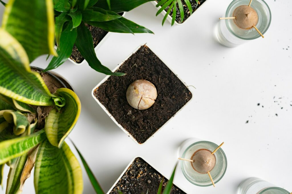 Как вырастить авокадо из косточки: пошаговая инструкция